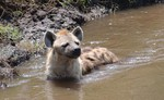 Hyène Parc Kruger Idube Sabi Sand Carpe Diem Travel