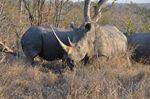Rhinocéros rhinos Parc Kruger Idube Sabi Sand Carpe Diem Travel